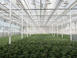 Aurora Nordic Denemarken Frankrijk experiment medicinale cannabis
