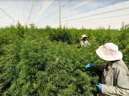 highlands investments zuid-afrika macedonië cannabis